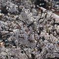 市ヶ谷の桜 IMG_62281