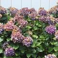 紫陽花 IMG_75145
