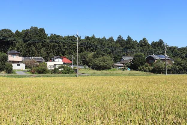 秋の田園風景 黄金の稲 IMG_82554