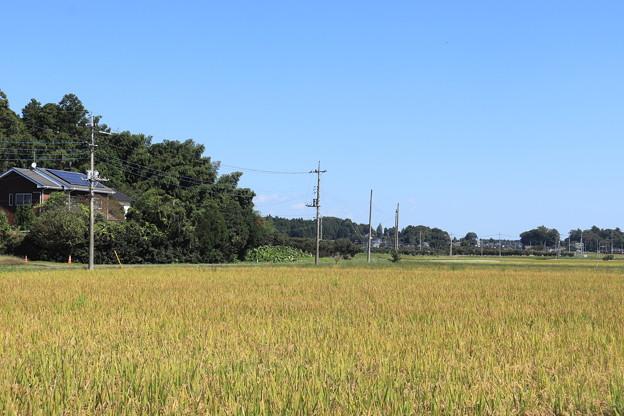 秋の田園風景 黄金の稲 IMG_82555