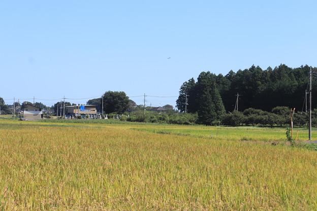 秋の田園風景 黄金の稲 IMG_82556