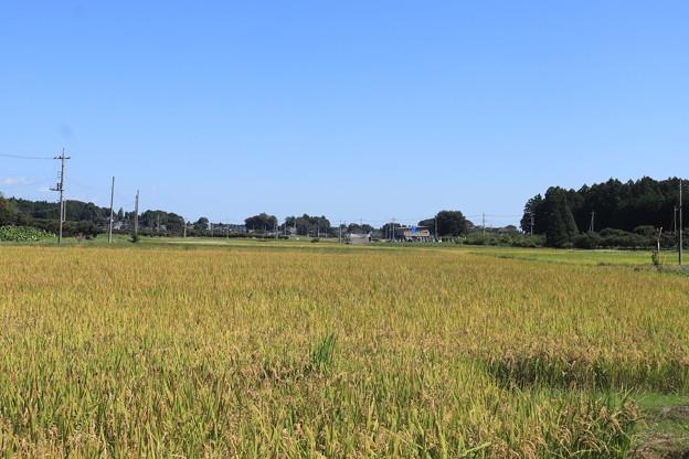 秋の田園風景 黄金の稲 IMG_82557