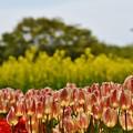 菜の花とチューリップ