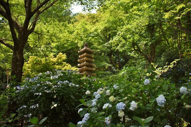 Photos: 高幡不動の紫陽花