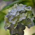 Photos: 日陰で咲く