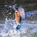 ◎◎◎お魚ゲットなカワセミくんの水しぶきが秀逸な☆☆☆