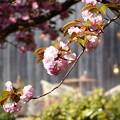 八重桜   大阪/吹田千里南公園