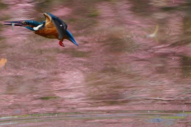 さくら色水面でお魚ゲットなカワセミくん♂  大阪/吹田千里