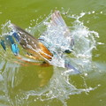 Photos: お魚パクり!
