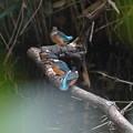 Photos: カワセミ幼鳥ちゃんたち
