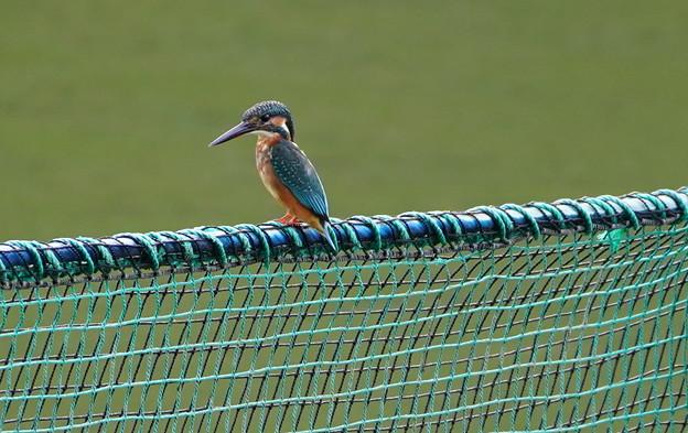 網柵にカワセミくん