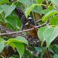 Photos: 枝にカワセミ幼鳥ちゃん