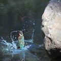 お魚ゲットなカワセミちゃん