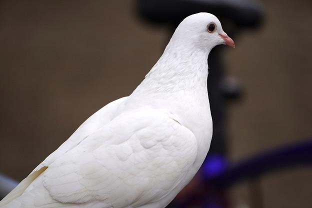 白い鳩  大阪/城北公園