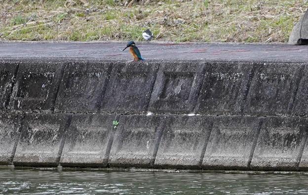 岸壁にカワセミちゃん獲物さがし 大阪/吹田千里