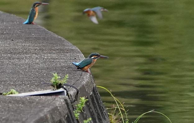 池の岸壁にカワセミちゃん
