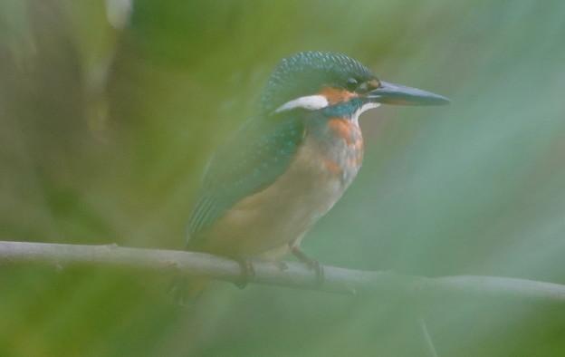 至近枝にカワセミ幼鳥ちゃん
