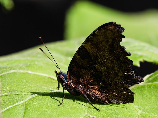 あなたは蝶ですか?蛾ですか?