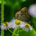 Photos: 野花とジャノメ