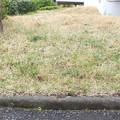 団地の庭の芝草に10本も発見