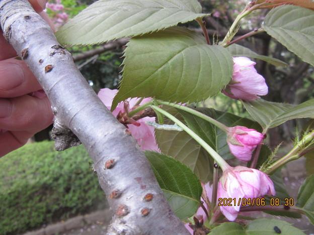 八重桜の花に虫がついていた