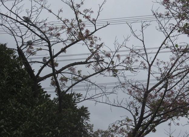 桜の花をつつきに集団で来ていた