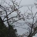 Photos: 桜の花をつつきに集団で来ていた