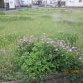 農家が田んぼに保存して咲かせている