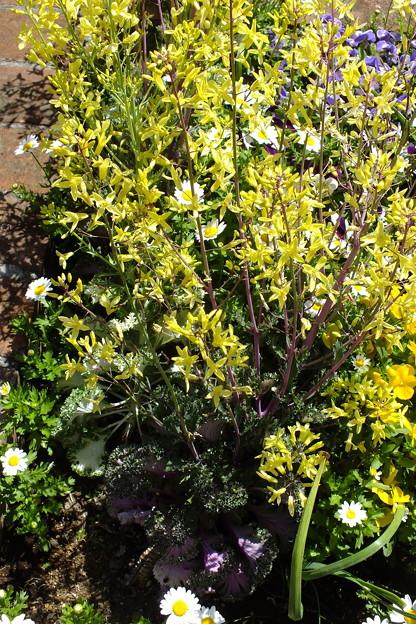 菜の花にあらず 葉ボタンの花