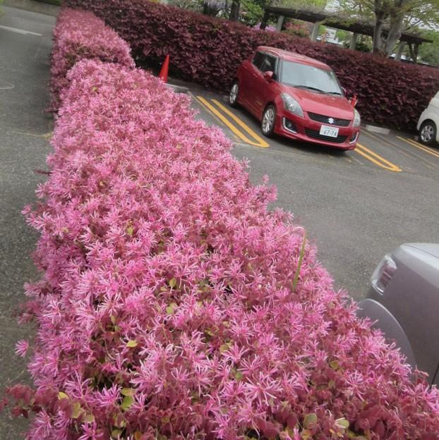 駐車場の垣根は満開のピンクで囲まれた