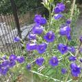 カンパニュラ 青紫