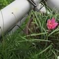 一輪開花と何本も打ち上げ体制に