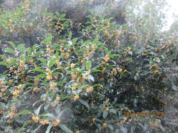 大木にビッシリ花が咲きそう