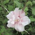 八重のむくげ 白ピンク交じり