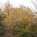 一本杉公園の高木の桂