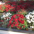 朝どり直販農家の鉢菊の初出荷