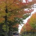 アメリカ楓並木の紅葉