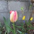 チューリップが咲いていた