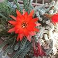 ビャクダン サボテンの花