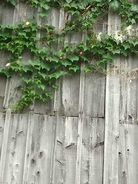 倉庫の壁に張り付いていた烏瓜