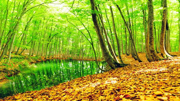 新緑のブナ林