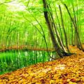 Photos: 新緑のブナ林
