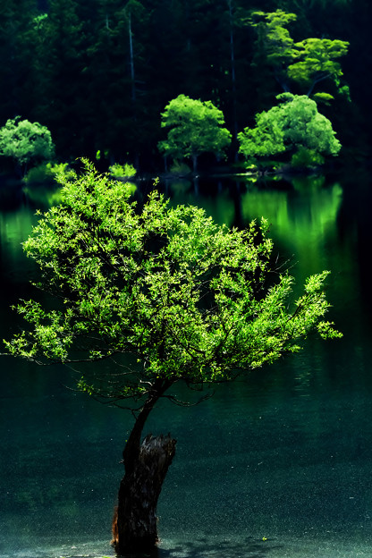 夏の湖畔の立ち木