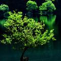 Photos: 夏の湖畔の立ち木