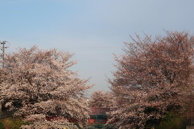 天神橋 桜