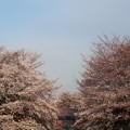 Photos: 天神橋 桜