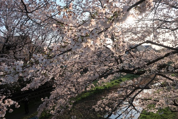 野川・天神橋より 桜