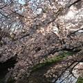 Photos: 野川・天神橋より 桜