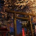 Photos: 雨の濡れ夜桜!石神社の桜2