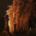 Photos: 2021梅岩寺の枝垂れ桜2